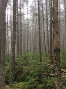 Red spruce stand in the Monongahela National Forest (photo courtesy Justin Mathias)