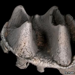 The molar. Photo by Rebecca Pian.