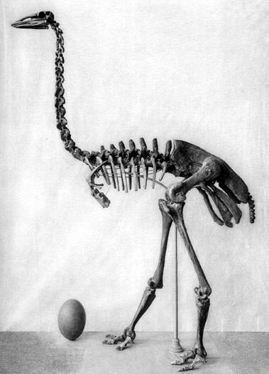 Aepyornis egg, with skeleton for size comparison. Big egg! (Photo credit: Wikipedia)