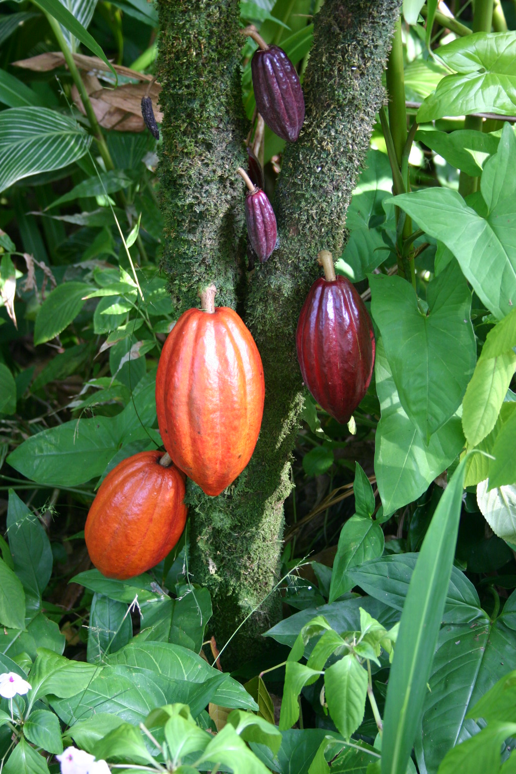 Cocoa pods on the tree. Image by medicaster (public domain).