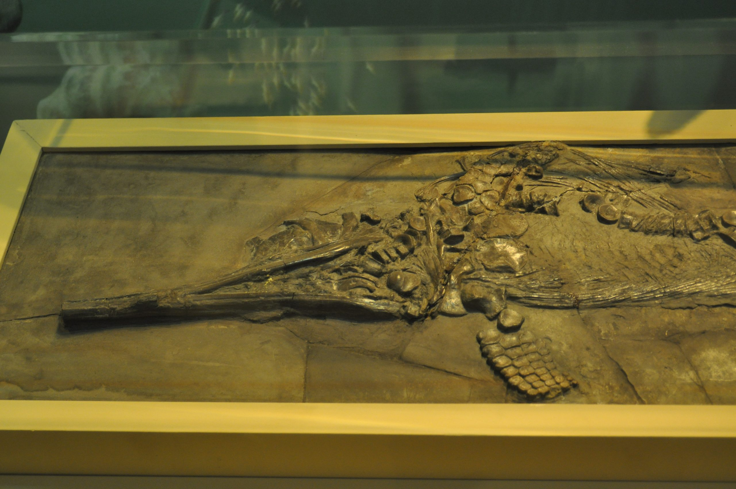 Ichthyosaur specimen from the Alf Museum. Courtesy of Andy Farke. CC-BY