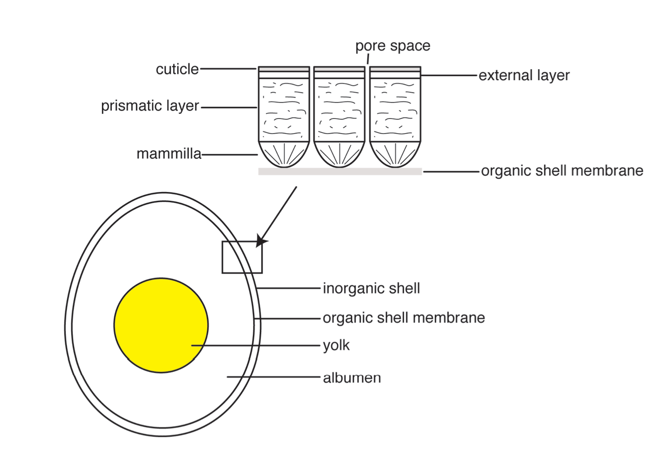 General egg and eggshell microstructure diagram. (Photo credit: Shaena Montanari)