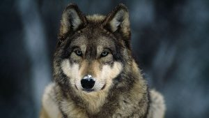 Photo of the face of a gray wolf