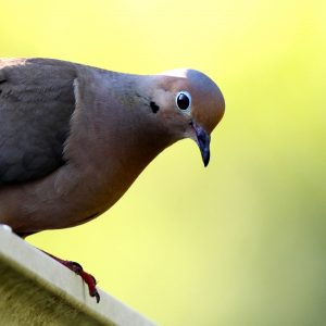 Mourning Dove. Photo: Dawn Huczek, via Wikimedia Commons. Distributed under a CC BY 2.0 license.