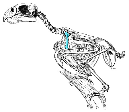 Skeleton of a parrot, with the coracoid highlighted in blue. Field and colleagues found that the size of the surface where the humerus (arm bone) attaches is the best predictor of body mass in their sample. Image modified from Lydekker, which is now in the public domain.