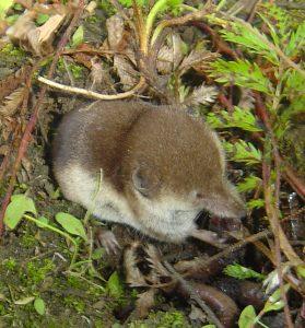 Tundra shrew, Sorex tundrensis. Photo: Andrew Hope.