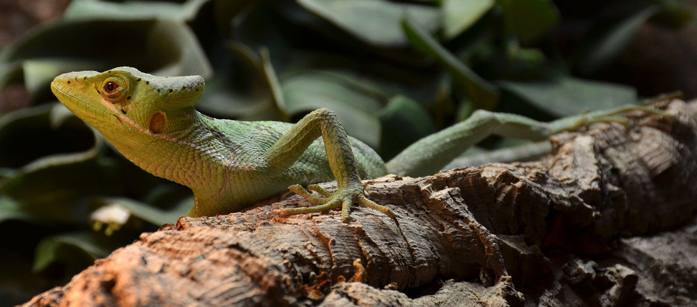 Laemanctus longipes, one of the closest living relatives of Babibasiliscus. Image by Vassil, CC0.