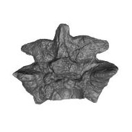 A Titanoboa vertebra used in a K-12 project published on MorphoSource.