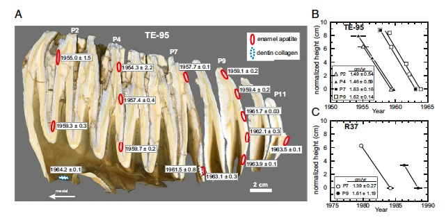 Figure 3 from Uno et al. 2013 illustrating the C-14 age of growth bands in an elephant molar.