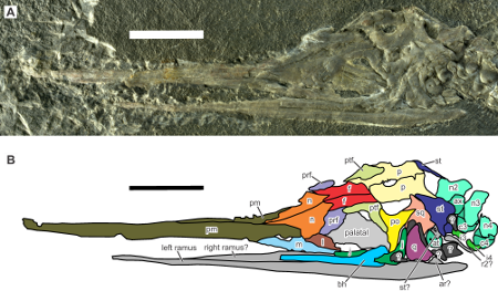 Skull (photograph and interpretive drawing) of Eohupehsuchus. The tip of the snout is to the left of the image. From Chen et al. 2014. CC-BY.