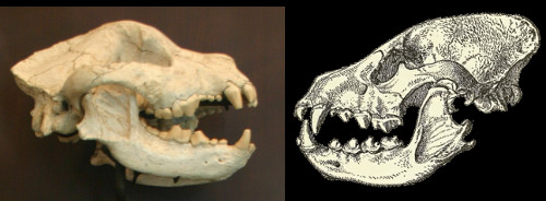 A bone-cracker face-off. The extinct dog <i>Borophagus</i> (left) versus the modern striped hyena (right). Note the beefy teeth and jaws. Borophagus photo by Ryan Somma, CC-BY-SA; hyena drawing from Heptner 1988.