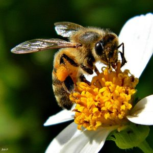 Honey bees (Apis mellifera) are native to Europe and Africa, but have been introduced worldwide. (Photo credit Bob Peterson)