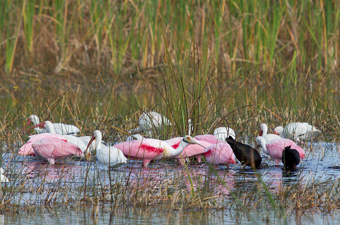 Wading birds foraging in one of the open restoration plots. Photo by: Robin Bennett.