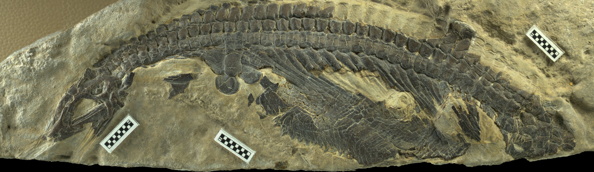 Skeleton of Nanchangosaurus