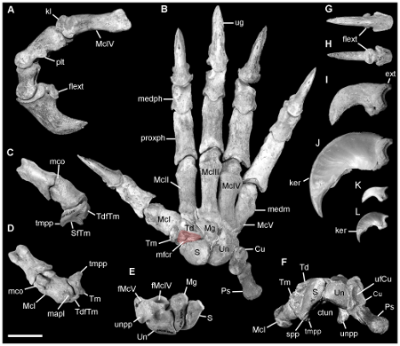 Hand bones of Nimbadon, an extinct, arboreal wombat-like marsupial. CC-BY, from Black et al. 2012.