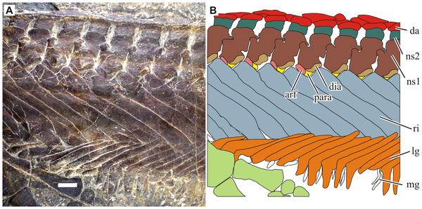 "Close-up of the rib cage in Parahupehsuchus; note how the ribs (in blue-ish gray, labeled ""ri"") run into each other."