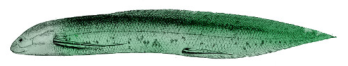 The modern African lungfish Protopterus, probably even less tasty than it sounds. Image in the public domain, modified from Ray 1908.