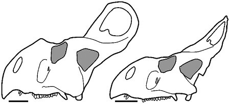 Variation in Protoceratops skulls; the skull on the left has been previously hypothesized as male, whereas the skull on the right has been suggested as female. Scale bars equal 10 cm. Image from Maiorino et al. 2015, modified from original by Brown and Schlaikjer 1940.