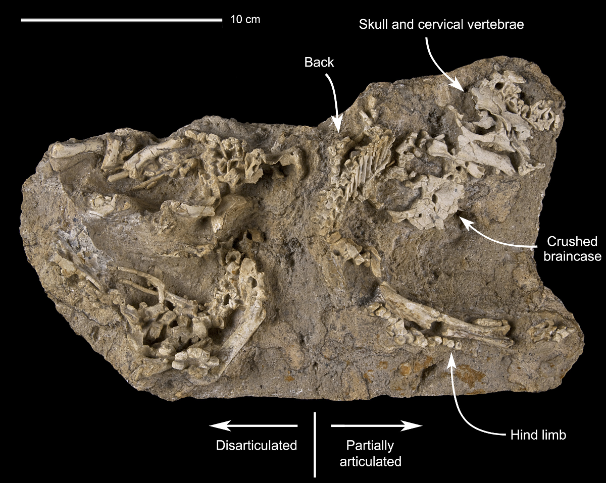 Tiny Saurolophus skeletons in the rock, from Dewaele et al. 2015. CC-BY.