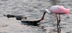 A spoonbill picks up the tail of a swimming alligator