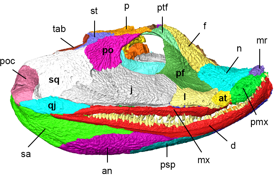 "The original ""squished"" skull of <i>Acanthostega</i>. Modified from Porro et al. 2015, CC-BY."
