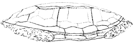 The shell of Emys etalloni in side view (from Pictet and Humbert 1857)