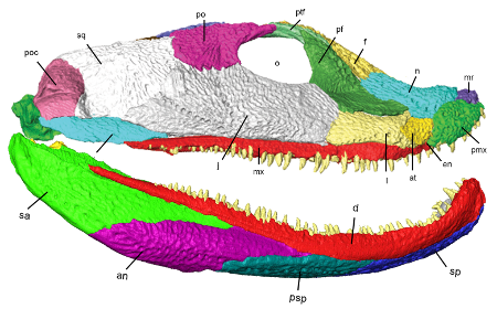 "The ""unsquished"" skull of <i>Acanthostega</i>. Modified from Porro et al. 2015, CC-BY. I have combined two figures to better show the overall anatomy."