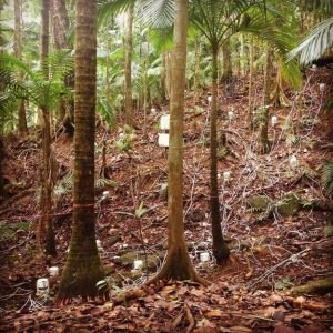 Site of the Silver Lab's research at the Luquillo Experimental Forest in Puerto Rico. Image courtesy of Christine O'Connell.